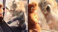 동물 옷을 입고 진짜 사자와 교감하는 아기!