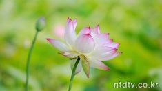 삼락공원 蓮花