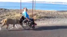 장애인 주인 휄체어를 밀고 있는 충직한 개