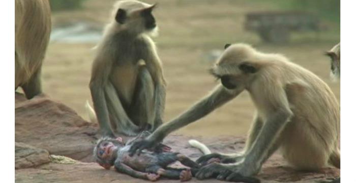 아기원숭이 인형의 죽음을 보고 슬퍼하는 원숭이들