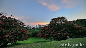 부산진 배롱나무