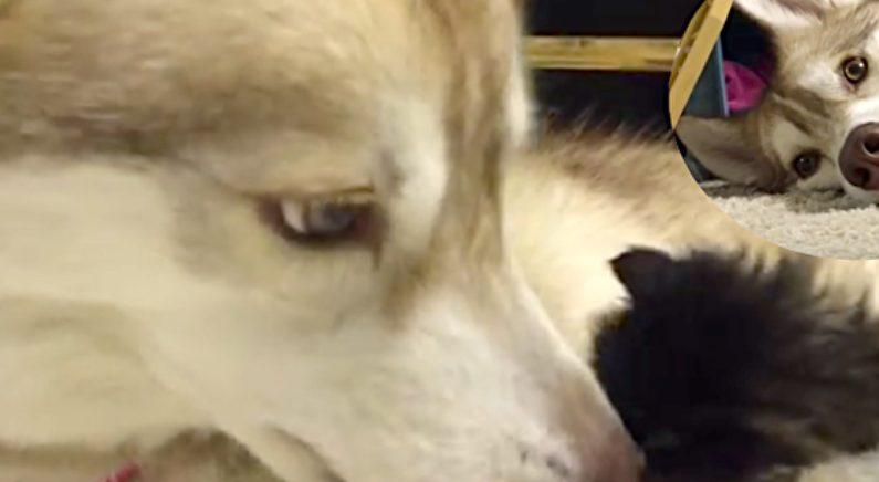 허스키 강아지를 어미처럼 따르는 아기 고양이