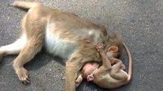 죽은 어미 곁을 떠나지 않는 새끼 원숭이
