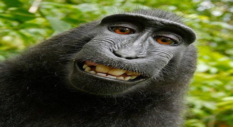 원숭이가 찍은 셀카.. 저작권은 누구에게?