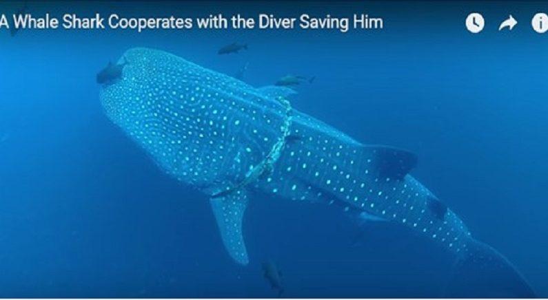 인간의 부주의-낚시줄에 몸이 감긴 고래상어를 구해주다