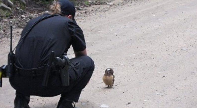 경찰의 순찰차를 가로막은 새끼 부엉이