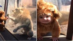 [영상] 진짜 사자가 사자 털옷을 입은 아이에게 보인 반응