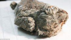5만년 전 빙하시대에 얼어죽은 아기 사자 깨어날까? 러시아 연구팀 복제계획 발표