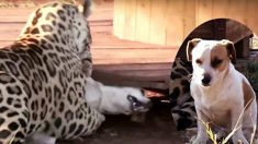 강아지를 덮친 표범이 입을 벌린 순간, 반전 행동?