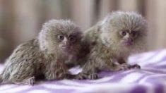 세상에서 가장 작고 귀여운 '100g' 원숭이