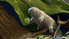 우주에서도 살 수 있는 1mm 생물체 '타디그레이드'