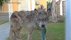 늑대모습으로 떠돌 던 개, 구조원의 도움으로 새 삶을 찾다(영상)