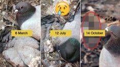 7개월간, 죽은 암컷을 지킨 수컷 비둘기