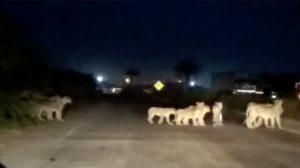 """""""엣헴, 사자 나가신다"""" 고속도로 막아서고 길 건너는 사자 무리들"""