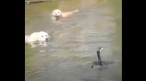 (영상) 순둥이들과 놀고 싶었던 새, 계속 눈앞에서 감질나게 '나 잡아봐라'
