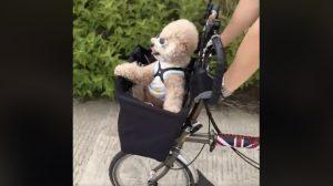 선글라스 쓰고 앞 바구니에서 자전거 드라이브 즐기는 댕댕이