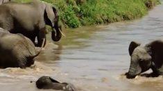 (영상)불어난 강을 건너는 아기코끼리의 위험천만한 순간