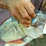식인어 피라냐보다 무서운 '파쿠피쉬(Pacu Fish)' (영상)