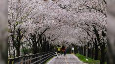 한국의 봄, 양평군에서 꽃 피다