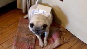 """(영상) """"너… 대체 무슨 짓을 한 거니?' 개가 주인 말에 고개조차 들지 못한 이유"""