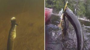 (영상) 낚싯대에 걸린 물고기를 구하려 애쓰는 물고기의 모습