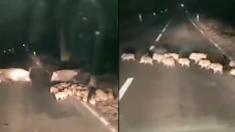 """(영상) """"이렇게 많은 아기 멧돼지는 처음 봐요"""", 달밤에 이동하는 멧돼지 대가족을 만난 운전자"""