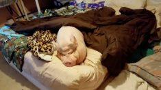 (영상) 미니 애완 돼지의 힘든 수요일 아침