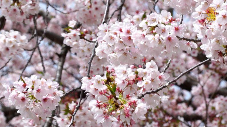 봄바람이 살랑살랑, 벚꽃천국 창원으로 떠나볼까요?? [헬로우 코리아] 286회-1