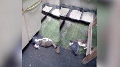 """(영상) """"너 고양이 맞아?"""" 비둘기의 애정 공격에 속수무책으로 당하는 고양이"""