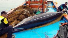 '바다의 로또' 밍크고래 또 잡혀…얼마에 팔렸나