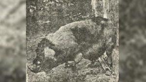 사진에 찍힌 '돼지로 환생한 사람'