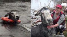 (영상) 홍수 때문에 물속에서 '헐떡거리던 당나귀' 구해준 은인에게 보여준 행동에 '뭉클'