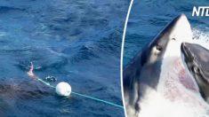 (영상) 자신의 먹이를 탐낸 다른 상어에게 처절한 응징을 하는 백상아리