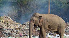 스리랑카 코끼리들, 매일 쓰레기차 기다리는 이유(영상)