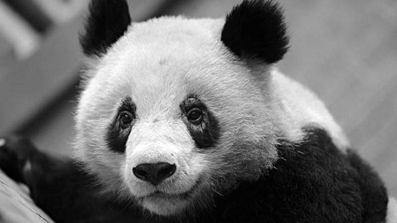 중국 팬더 사육기지 팬더들, 수상한 증상 보여