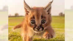 파라오의 무덤을 지키는 신비스런 카라칼 고양이
