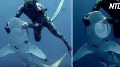 (영상) 상어 입 깊숙이 꽂혀 고통 주는 '철제 바늘' 제거 시도하는 다이버