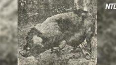 (영상) 사진에 찍힌 '돼지로 환생한 사람'