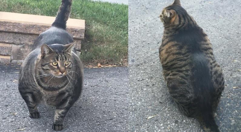 '억' 소리나는 근육질의 고양이 '버프캣'