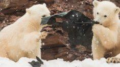 플라스틱 뜯어먹는 아기 북극곰 모습에 '충격'