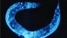 시베리아 영구동토층 선충, 4만2천여년 잠에서 깨어나