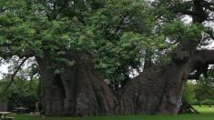 6000년 된 바오밥 나무 속 '술집'