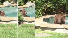 뒷마당 '야외 욕조'로 갑자기 들이닥친 '곰', 신나게 물놀이를 즐기다 칵테일까지(영상)
