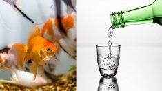 """""""금붕어는 물을 '술'로 바꾸는 신기한 능력 있다"""""""