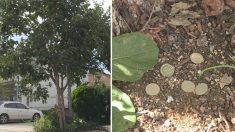 '돈 떨어지는 나무'…50원 감나무 미스터리