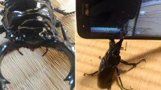 스마트폰 액정 깨부수는 '사슴벌레'의 무시무시한 괴력