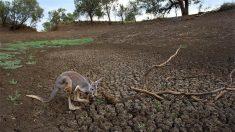"""가뭄이 얼마나 심각하길래..호주 """"캥거루 사살 가능"""""""