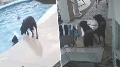 두 견공의 우정, 수영장에 빠져 허우적거리는 친구 개를 구하다(영상)