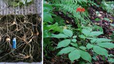 조상묘 벌초하던 40대 남성, '산삼' 12뿌리 발견