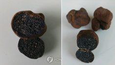 '땅 속의 다이아몬드' 송로버섯 추정 임실서 발견